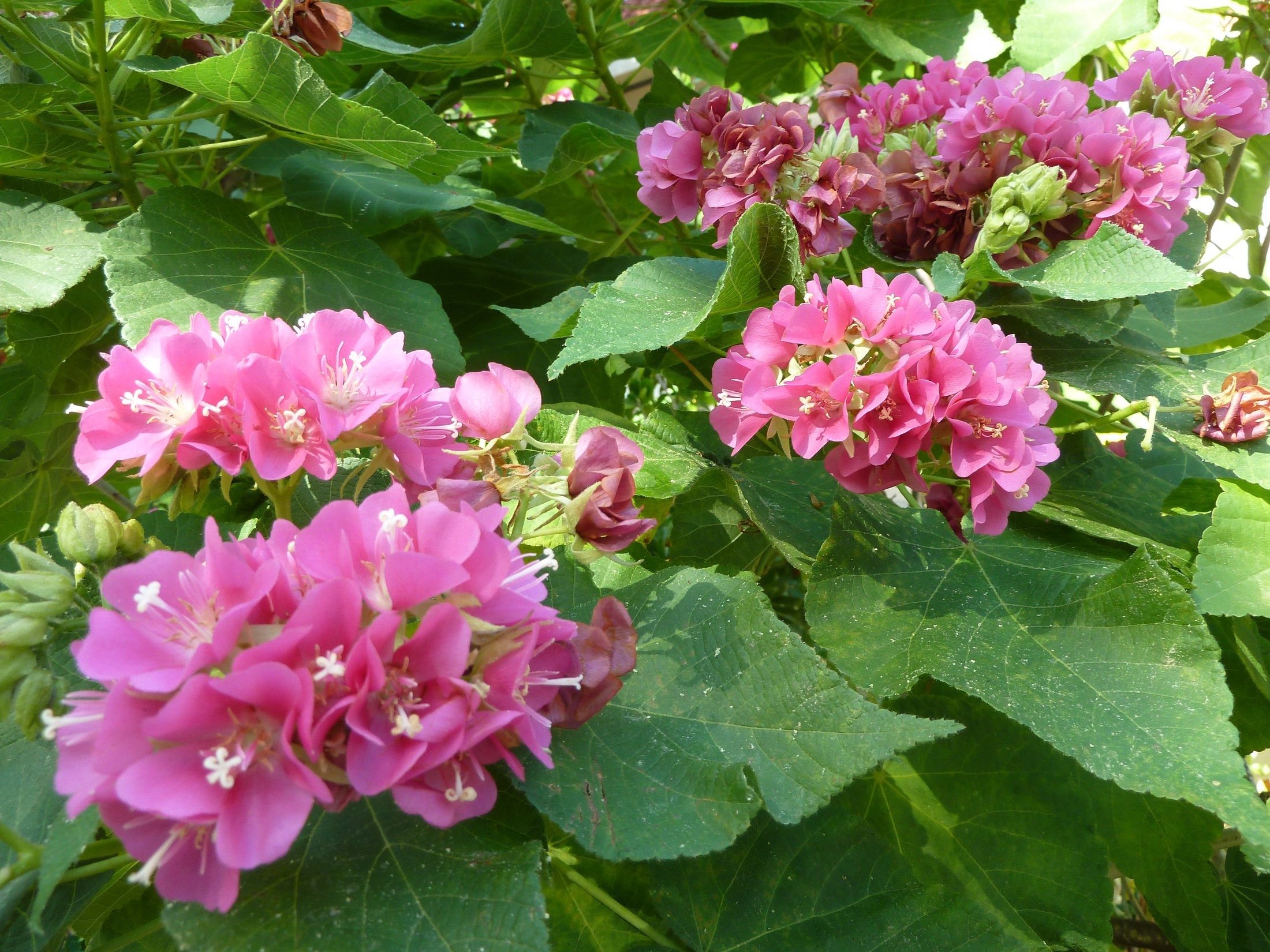 Tropical rose hydrangea